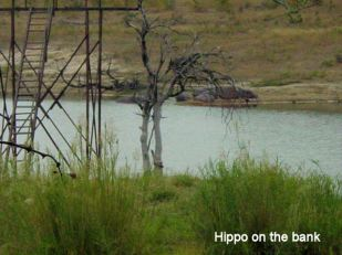 c1 Hippo on the bank