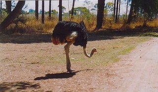 c1 the biggest turkey in Zim