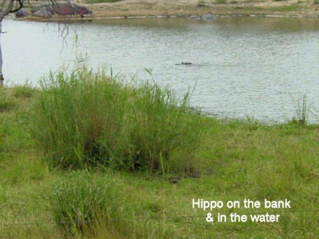 c2 Hippo on bank and in water