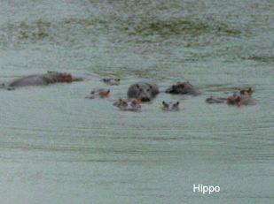 c7 hippo