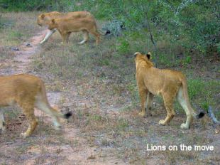 c8 lions on the move