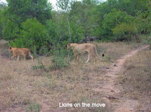 c9 lions on the move