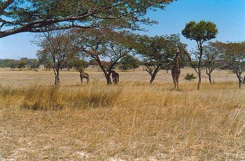 d1 giraffe a