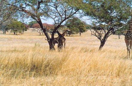 d1 giraffe b
