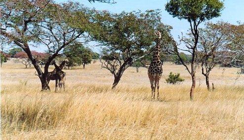 d1 giraffe c
