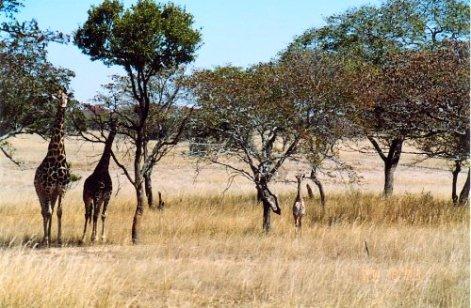 d1 giraffe d