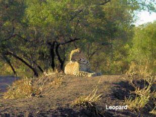 d8 Leopard