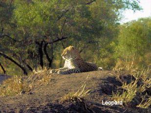 d9 Leopard
