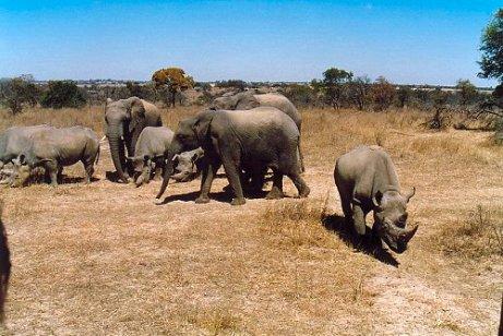 e1 rhino & elephant a