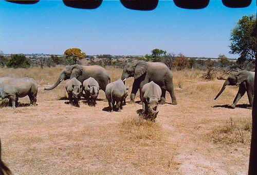 e1 rhino & elephant b