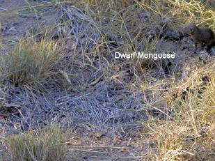 e5 dwarf mongoose