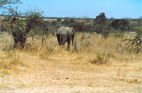 f1 elephant b