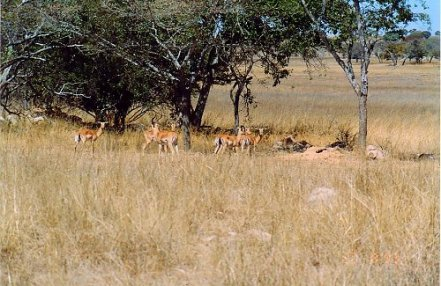 f1 impala b
