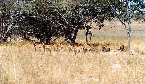 f1 impala c