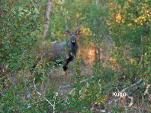 g9 Kudu