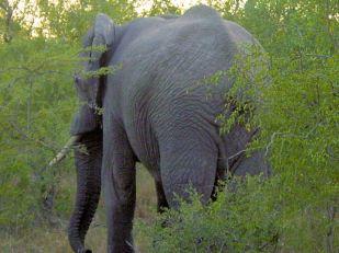 h1 elephant
