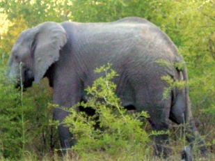 h2 elephant