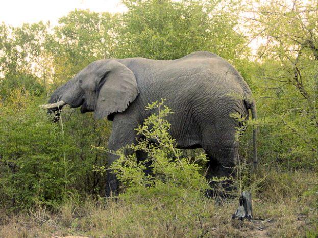 h3 elephant