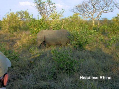 h5 headless Rhino