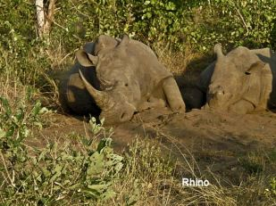 h7 rhino