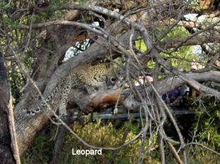h9 leopard being harassed by hyena