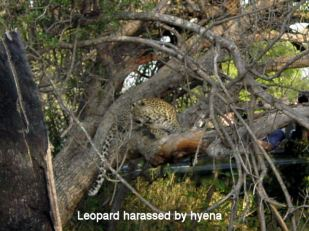 i1 leopard being harassed by hyena