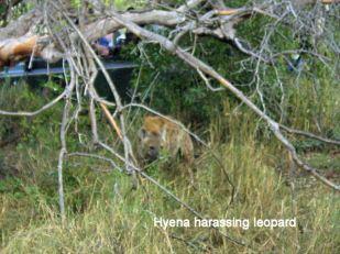 i3 Hyena harassing leopard