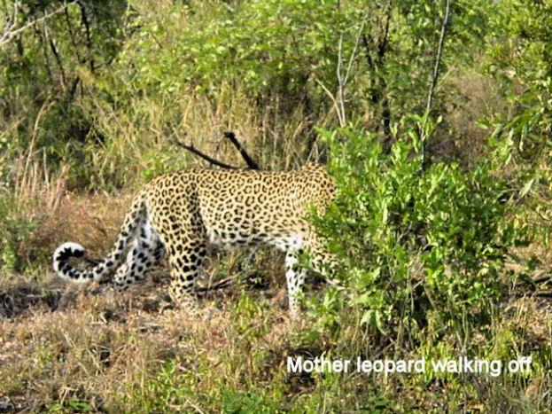 i5 mother leopard walking off