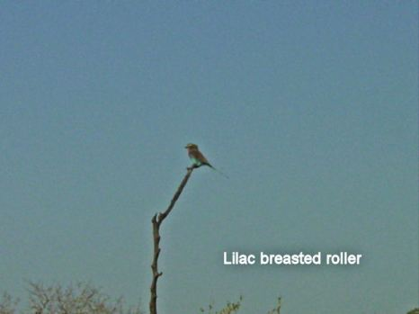 i6 lilac breasted roller