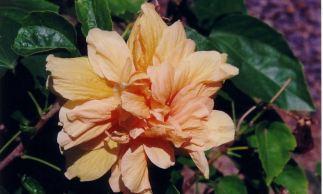 d1 Hibiscus