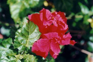 f2 Hibiscus