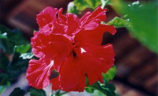 f3 Hibiscus