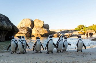 Jackass Penguins at Boulders Beach in Simonstown