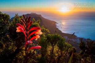 Table Mountain Watsonia by Dana Allen - PhotoSafari
