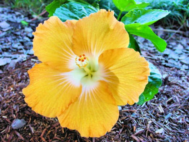 DSC00577 Golden Hibiscus E
