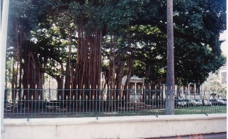 f1-2nd largest banyan tree-jan 89