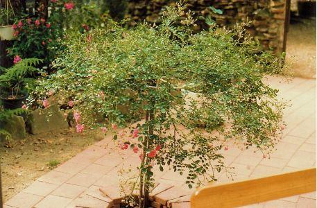 Image3a standard rose