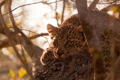 DRB-cub-rests-in-tree - 20Sept12 Londolozi