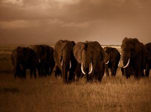 elephant-herd-kenya_amboseli