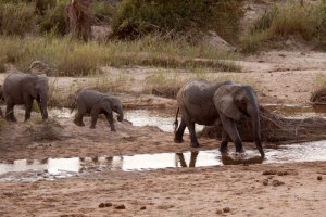Ellies-crossing-river - 20Sept12 Londolozi