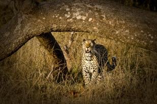 Maxabene female under a Marula tree - 5Oct12 Londolozi