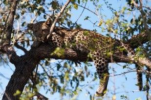 Piva-cub-in-tree - 30Sept12 Londolozi