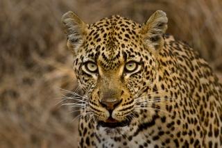 Tamboti female 3 - 5Oct12 Londolozi