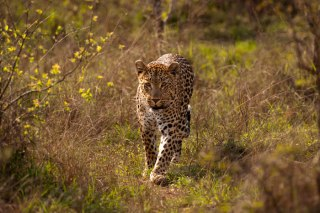 Tutlwa female 5Oct12 Londolozi