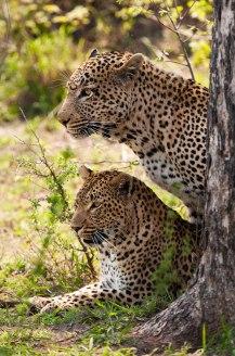 Tyson-and-Tutlwa-behind-Marula 5Oct12 Londolozi