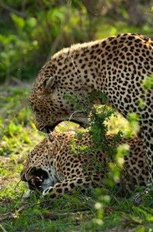 Tyson-and-Tutlwa-mating -5Oct12 Londolozi
