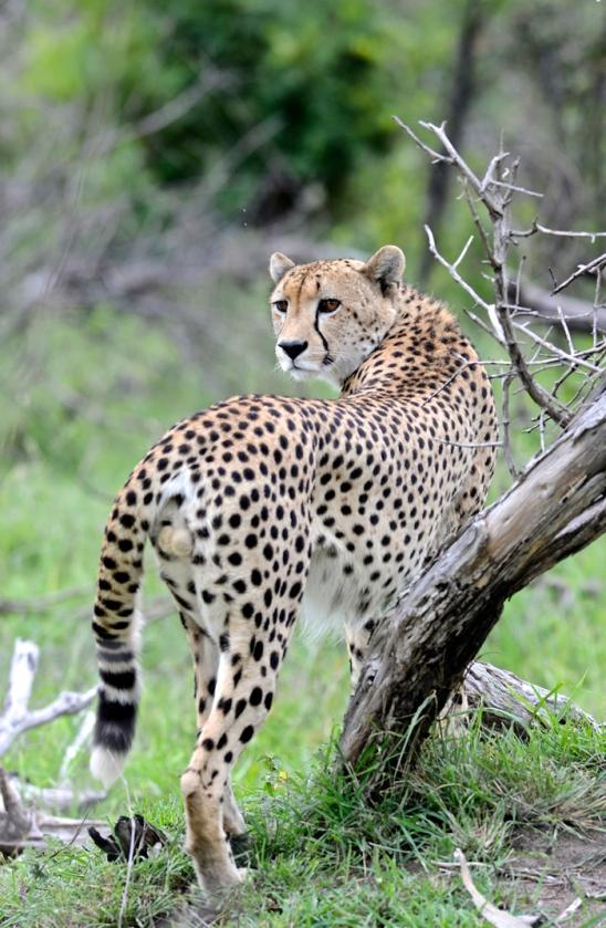 012-Cheetah-2