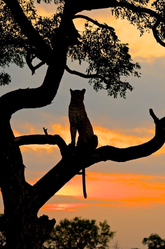 037-Leopard-Sunset