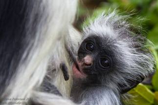 A cute little Red Colobus Monkey from Tanzania.