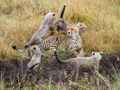 A jumble of Cheetahs Masai Mara - Isak Pretorius Wildlife Photography